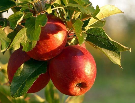 proprietà e benefici della mela annurca ramo