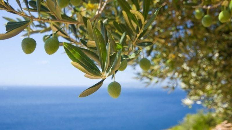 Olive probiotiche: un orgoglio italiano per aiutare l'intestino